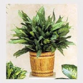 chinese-evergreen.jpg