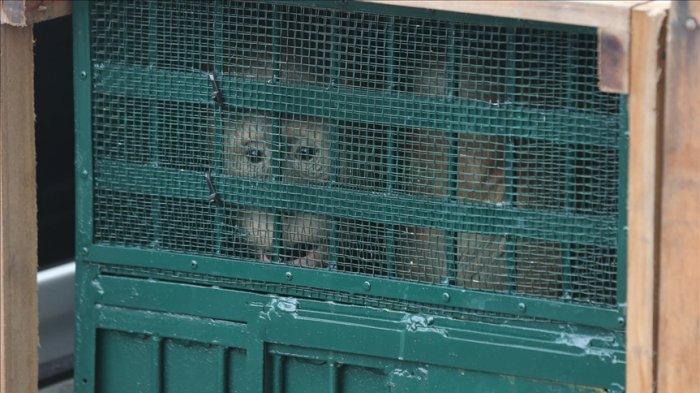 11 Orangutan yang Disita di Malaysia dan Thailand Dipulangkan ke Habitatnya di Jambi dan Sumut