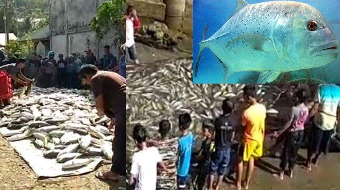 Heboh, 1 Ton Ikan Kuwe Muncul di Air Terjaring Pukat Nelayan, Ini Kejadian Kedua Bikin Nelayan Heran