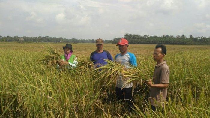 Aceh Tamiang Panen Raya Padi, Stok Pangan Aman Meski Pandemi Covid 19