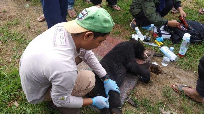 Induk Beruang Madu Tetap Jaga Anaknya yang Terjerat di Aceh Tengah,Ini Tindakan BKSDA