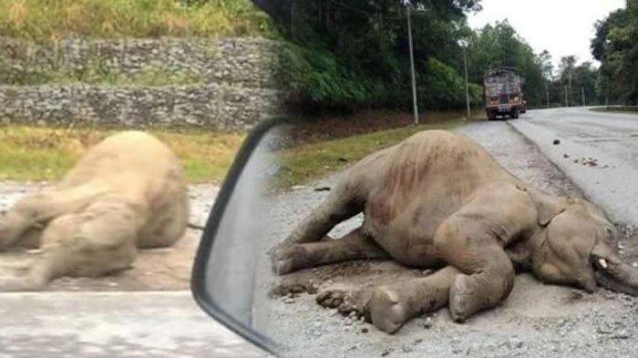 Anak Gajah Ditemukan di Pinggir Jalan dengan Bekas Luka dan Tak Bernyawa, Diduga Ditabrak Truk