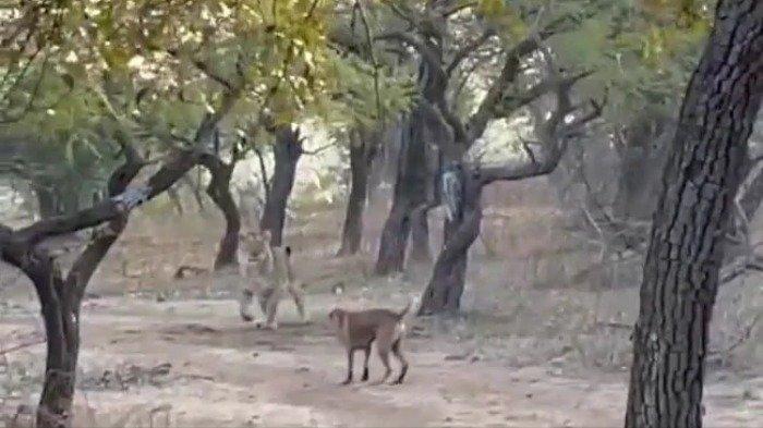 Viral Video, Aksi Anjing Liar Pemberani Nekat Lawan Singa Betina