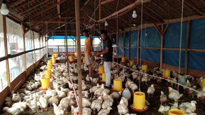 Warga Singkil Mulai Geluti Bisnis Ayam Broiler, Kini tak Lagi Andalkan Pasokan dari Sumut