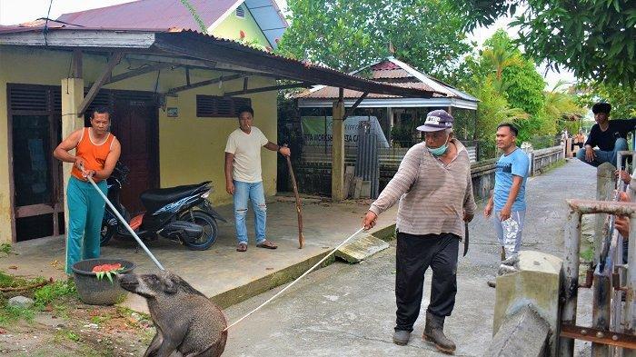 Heboh! 6 Ekor Babi Hutan Muncul di Kota Meulaboh, Warga Kejar danTangkap Beramai-ramai