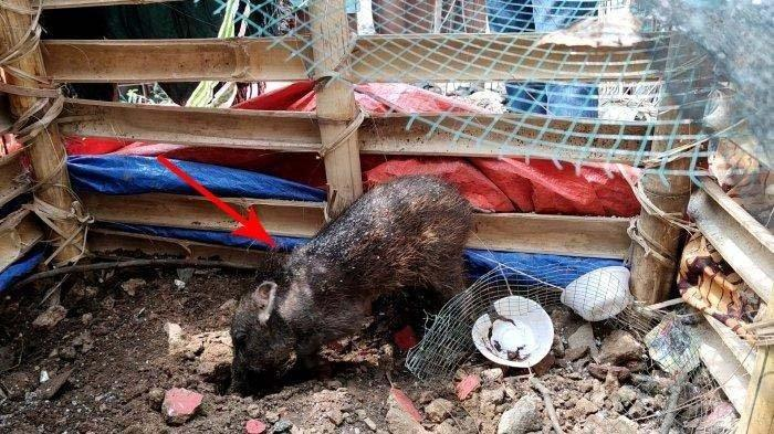 Babi yang diduga jadi-jadian dan diamankan warga di Kelurahan Bedahan, Sawangan, Kota Depok, Selasa (27/4/2021). (TribunJakarta/Dwi Putra Kesuma)