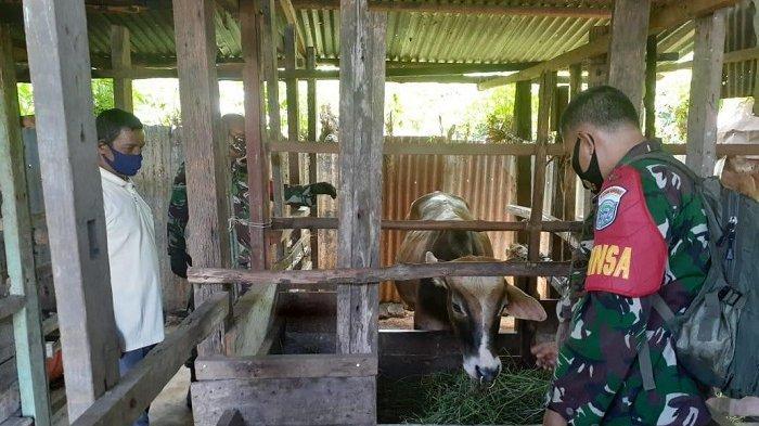 Berbekal Ilmu dari Pusdikter TNI AD, Babinsa Koramil 10/Peukan Bada Bina Peternak Sapi Lokal