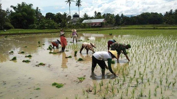 Empat Desa di Aceh Timur tak Bisa Turun ke Sawah Karena tak Ada Traktor, 45 Hektar Lahan Terlantar
