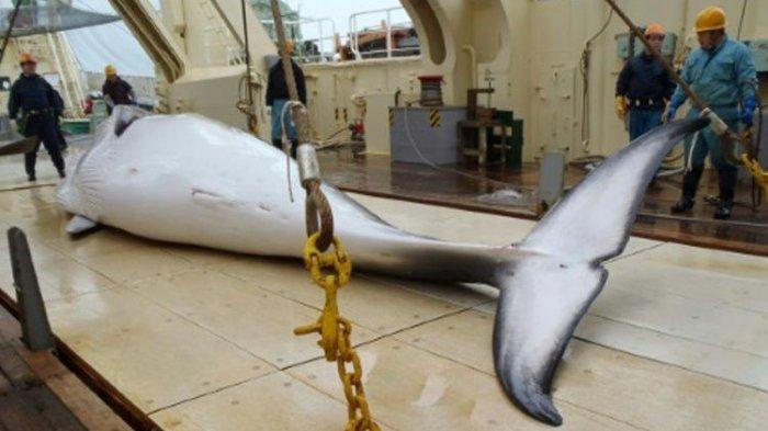 Uni Eropa dan 12 Negara Lainnya Kecam Perburuan Paus di Samudera Antartika oleh Jepang