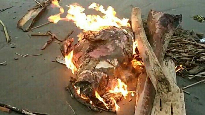Bangkai Babi di Sungai Singkil Dibakar Jauh dari Pemukiman Penduduk, Sukarelawan Sebut Tujuh Ekor