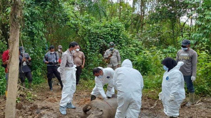 Anak Gajah Betina Ditemukan Mati di Aceh Timur, Tinggalkan Bekas Tusukan