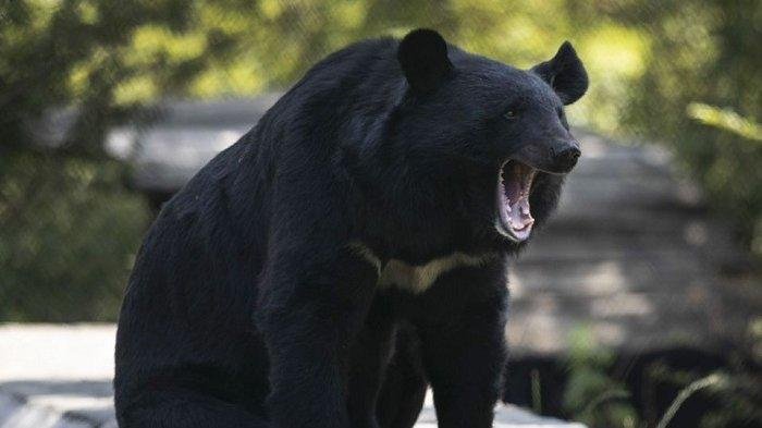 Beruang hitam Membunuh dan Memakan Jasad Wanita di Jalan Setapak Colorado