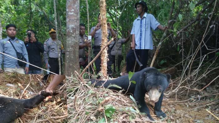 Begini Kondisi Dua Beruang Madu Jantan dan Betina yang Terjerat Jaring Babi di Abdya