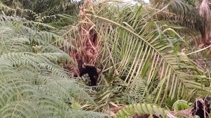 Seekor Beruang Madu Betina Terjerat Perangkap Babi di Aceh Jaya