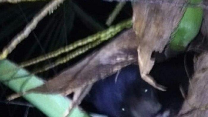 Jatuh dari Pohon Kelapa, Seekor Anak Beruang Ditangkap Warga