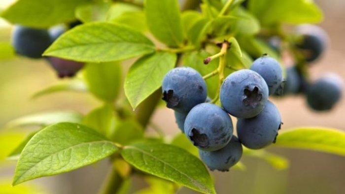 Ini Manfaat Buah Bilberry untuk Kesehatan Mata