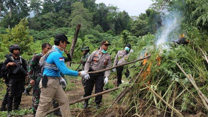 BNN Musnahkan Satu Hektare Lahan Ganja di Pulo Seulimuem Aceh Besar