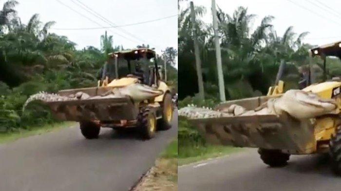 Viral, Buaya Raksasa 4,5 Meter Mati dan Diangkut Pakai Bulldozer, Usianya Diperkirakan 50 Tahun