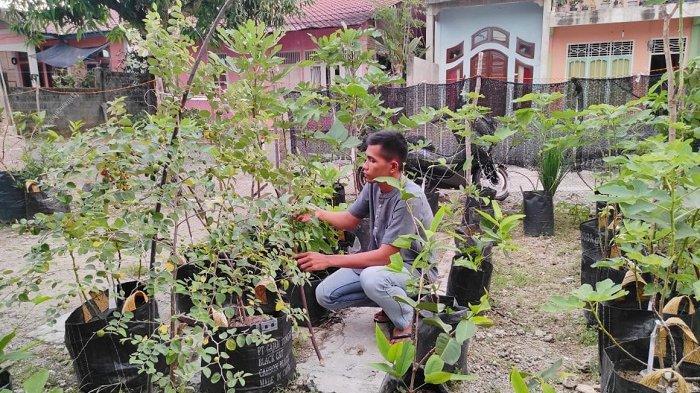 Pemuda di Aceh Selatan Sukses Budidaya Tanaman Tin