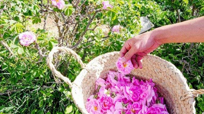 Kota Taif, Gelar Festival Bunga Mawar, Jadi Destinasi Wisata Warga Arab Saudi