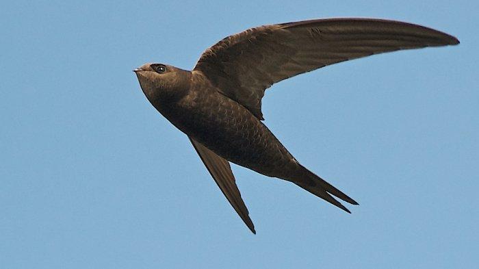 Burung Kapinis Paling Tangguh di Dunia, Sanggup Terbang 10 Bulan Tanpa Henti