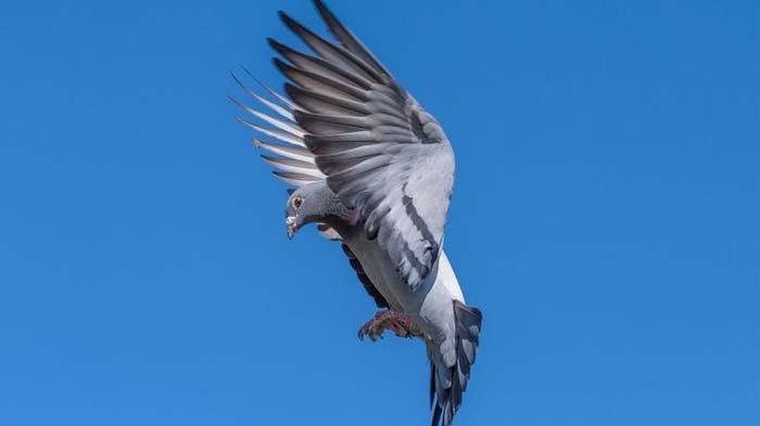 Seekor Burung Merpati Terjual Rp 26,8 Miliar, Keluarga Pemilik Terkejut