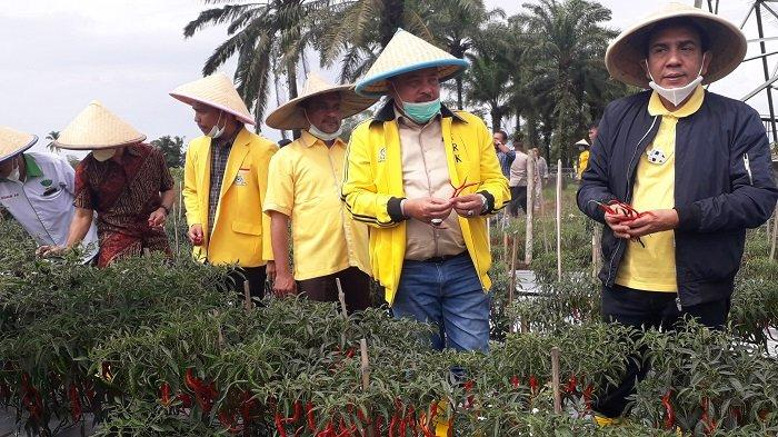 Petani Cabai Binaan Anggota DPRA di Nagan Raya Lakukan Panen Raya