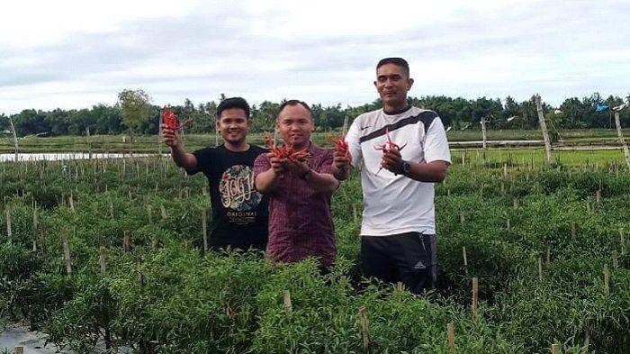 KNPI Pidie Kembangkan Usaha Pertanian Cabai Rakyat di Kembang Tanjong