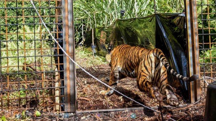 FOTO - Corina, Harimau Sumatera Yang Terjerat Saat Dunia Sedang Dilanda Corona - corina-berlari-ke-luar-kandang-habituasi.jpg
