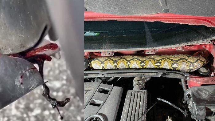 Darah Menetes dan Tercium Bau Bangkai, Wanita Ini Terkejut Temukan Ular Piton di Mesin Mobil