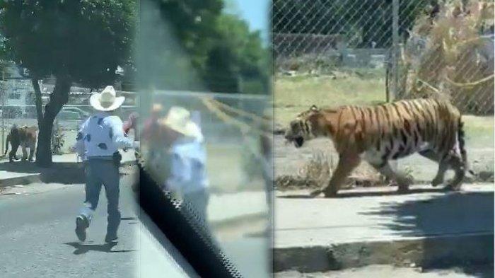 VIRAL Video Koboi Tangkap Harimau Lepas, Modal Tali Laso, Sekali Lemparan Langsung Kena