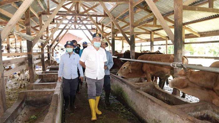 Sekda Aceh, dr Taqwallah MKes didampingi Kadis Peternakan Aceh, drh Rahmandi MSi memantau ternak sapi di kandang UPTD IBI, Saree, Aceh Besar, Sabtu (13/6/2020).