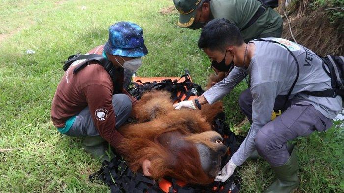 BKSDA Evakuasi Dua Orangutan di Nagan Raya, Ditemukan Bekas Tembakan Senapan Angin