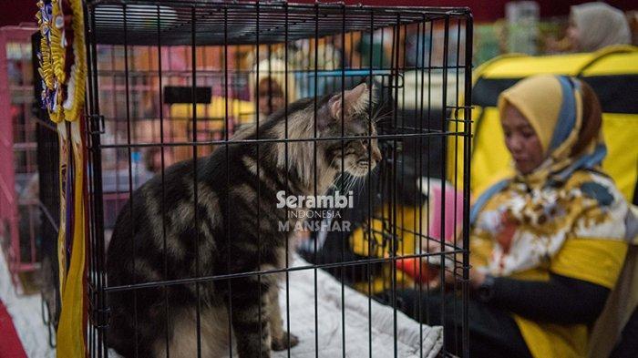 FOTO-FOTO: Puluhan Kucing Cantik dari Berbagai Ras Ikut Festival di Taman Budaya Banda Aceh - festival-kucing-2019-6.jpg