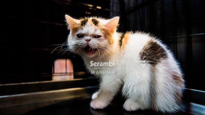 FOTO-FOTO: Puluhan Kucing Cantik dari Berbagai Ras Ikut Festival di Taman Budaya Banda Aceh - festival-kucing-2019-9.jpg