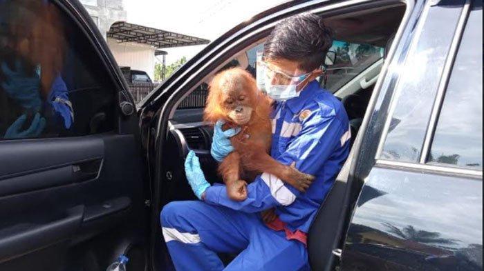 Polsek Sultan Daulat Amankan Orangutan Terpisah dari Induk, Diserahkan ke BKSDA Subulussalam