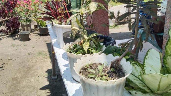 Sempat Heboh, Pecinta Bunga di Aceh Singkil Mulai Redup, Dulu Dipegang-pegang Kini Cuma Disiram