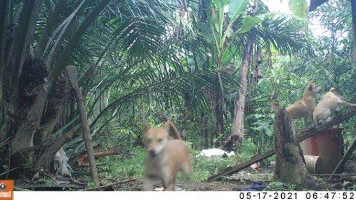 Ini Hasil Rekaman Kamera Trap BKSDA dan WCS-IP di Kandang Ternak Warga Sikelang Subulussalam