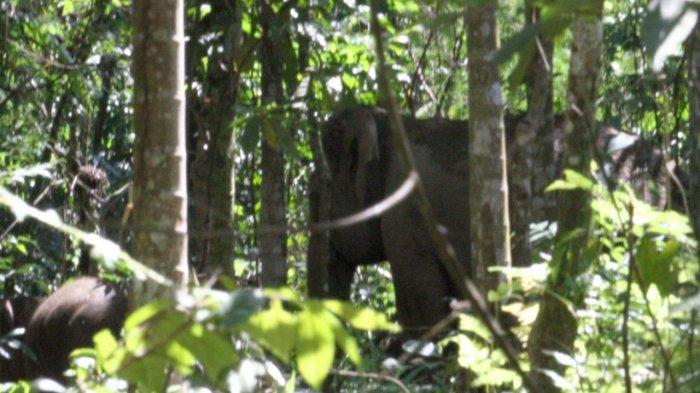 Gajah Berkeliaran di Dekat Linggong Panyang Keumala-Tangse Pidie, Pengguna Jalan Diminta Hati-hati