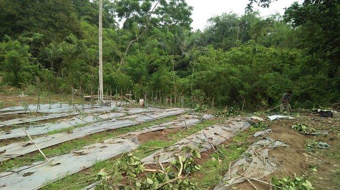 Puluhan Ekor Gajah Obrak-Abrik Tanaman Warga Glumpangtiga Pidie
