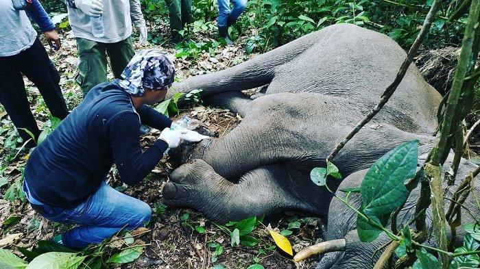 Anak Gajah Dievakuasi ke Saree, Terluka Akibat Dijerat Kabel Baja