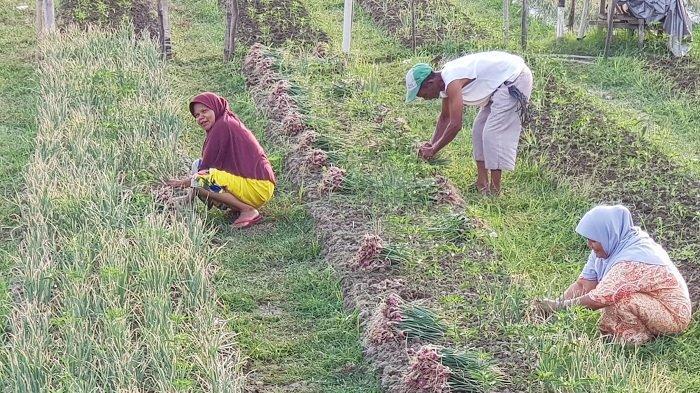 Latih Petani Pemula Menanam Bawang, Distanbunak Libatkan Swasta