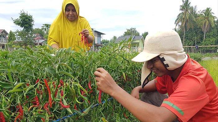 Harga Cabai Merah Melambung Tinggi Selama Idul Adha di Pidie Jaya