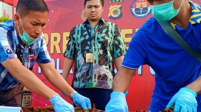 Satu Pelaku Masih Buron, Begini Perkembangan Kasus Penjualan Kulit dan Tulang Harimau