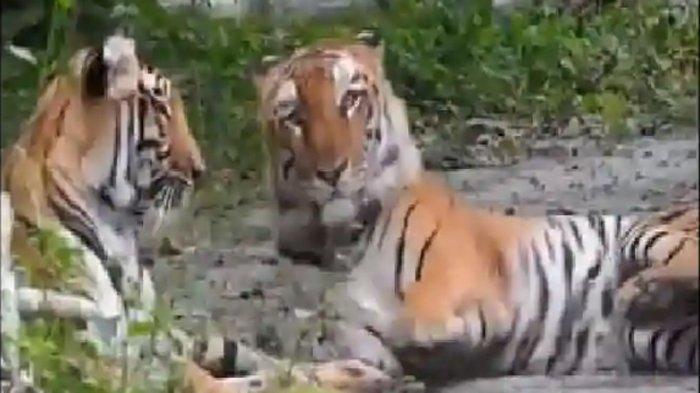Taman Margasatwa Benggala Menunggu Kelahiran Bayi Harimau dari Induk Bernama Sheela