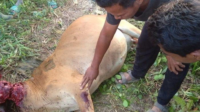 Aksinya Meresahkan hingga 5 Kali Mangsa Sapi, Warga Minta Harimau Ditangkap, Ini Tanggapan BKSDA