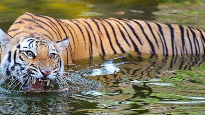Harimau Pemangsa 13 Manusia Gagal Ditangkap Dengan Berbagai Cara, Akhirnya Polisi Gunakan Ini