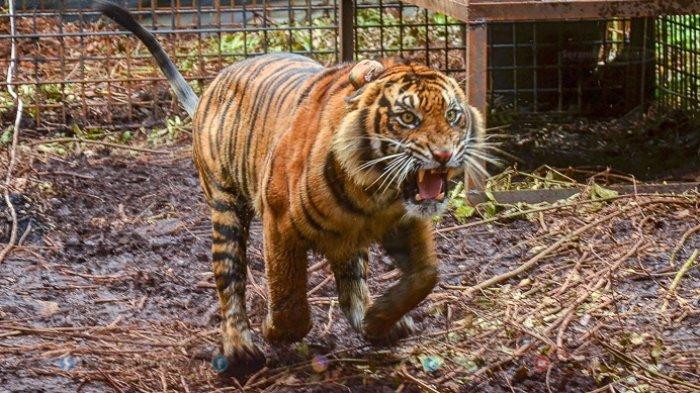 FOTO - Corina, Harimau Sumatera Yang Terjerat Saat Dunia Sedang Dilanda Corona - harimau-sumatera-corina-1.jpg
