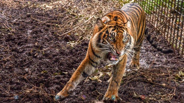 FOTO - Corina, Harimau Sumatera Yang Terjerat Saat Dunia Sedang Dilanda Corona - harimau-sumatera-corina-2.jpg