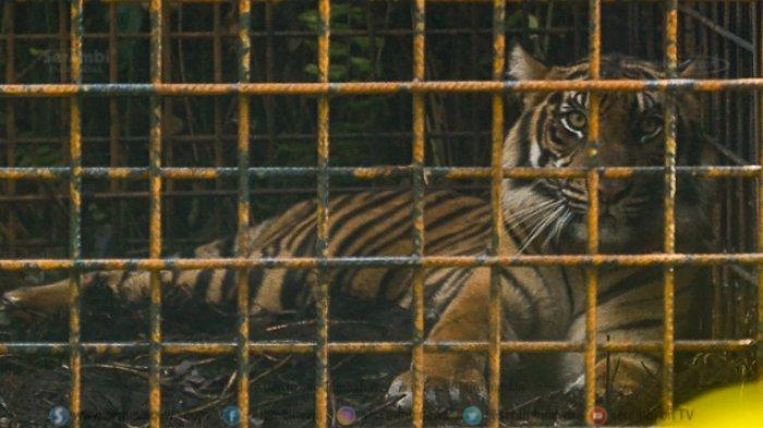 FOTO - Corina, Harimau Sumatera Yang Terjerat Saat Dunia Sedang Dilanda Corona - harimau-sumatera-corina-4.jpg